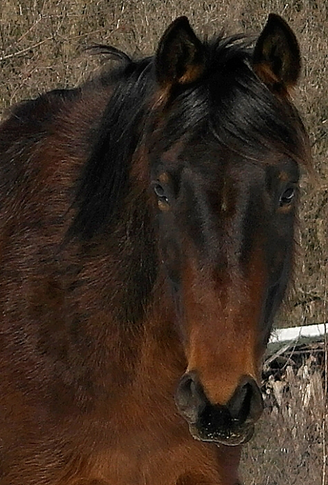Ella (Spanish Lady). Veronica's Standardbred mare.