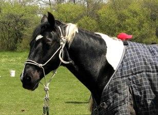 Ace's Night Hawk (a Saddlebred)